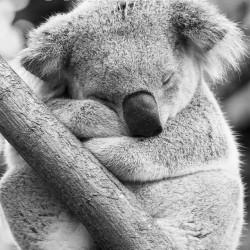 alla_koala